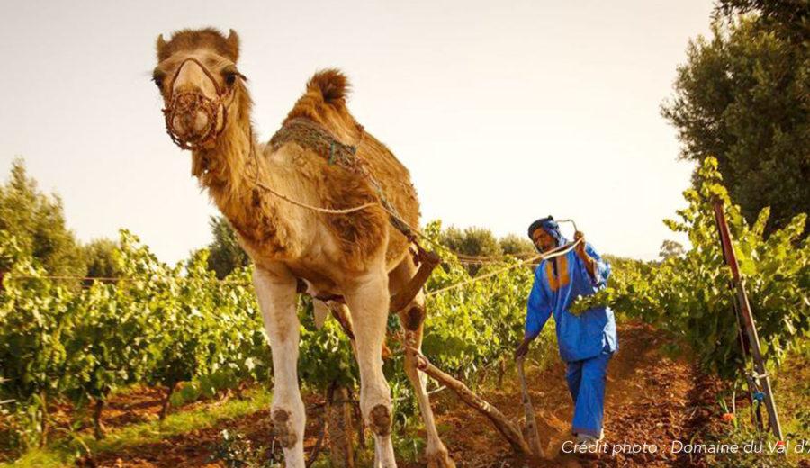 A la découverte du vignoble Marocain
